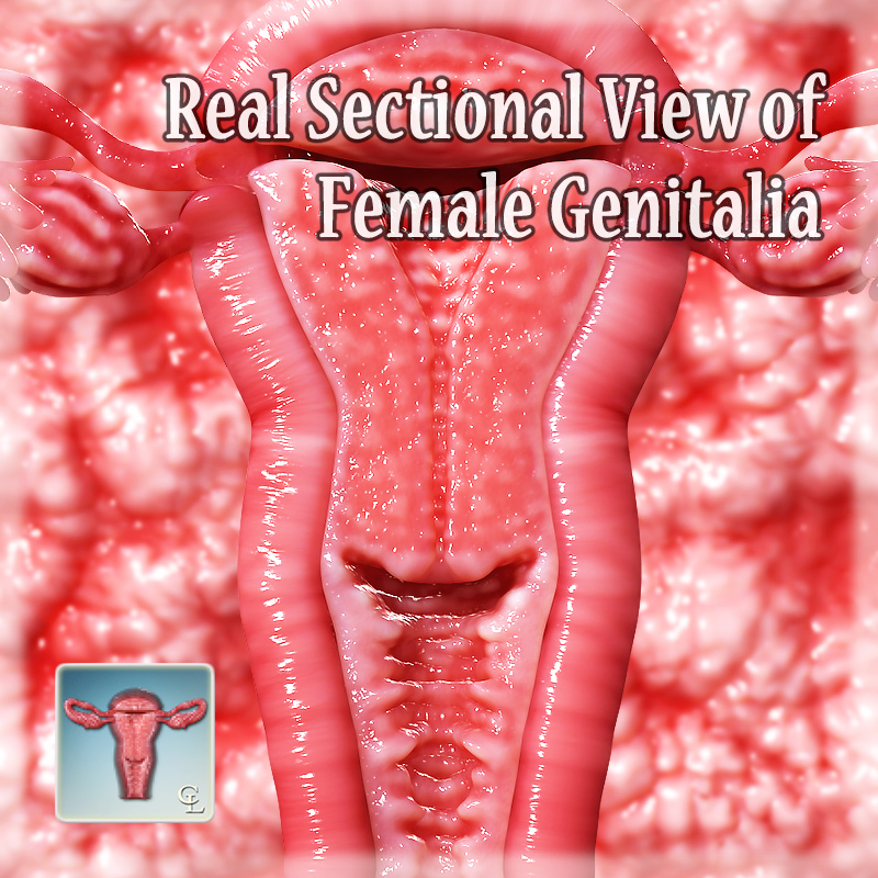 Real Sectional View Of Female Genitalia